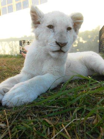 Kwantu Private Game Reserve - Day Visits: Nanook the lion cub at Kwantu