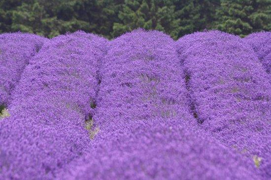 Cotswold Lavender : Purple sea!!