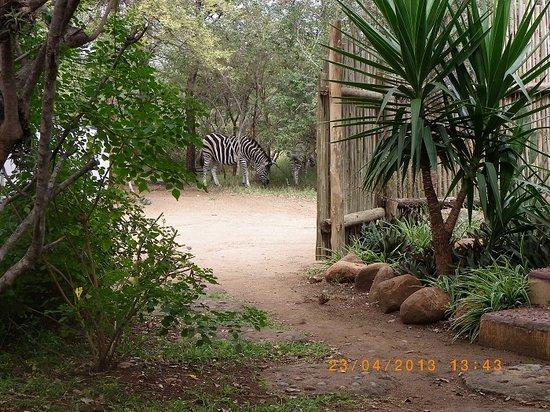 Kruger Inn Backpackers: Zebra near pool