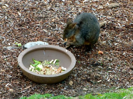Launceston Bed and Breakfast Retreat: Visiting Wallaby