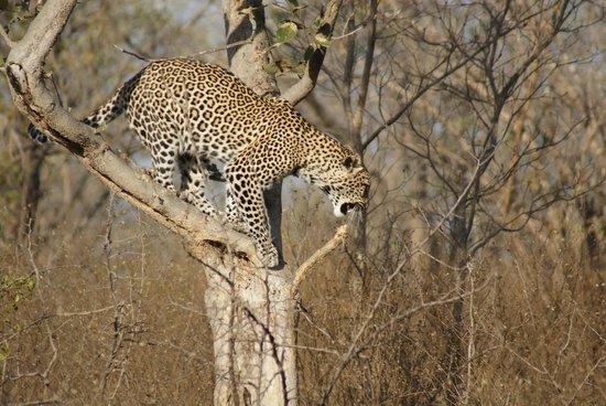 Tydon Safari Camp: Léopard dans le parc Kruger