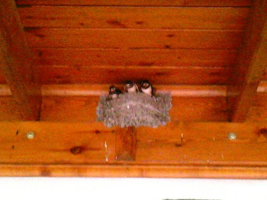 Flora Hotel: swallow chicks