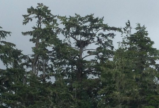 West Coast Aquatic Safaris : there is a bald eagle and nest here