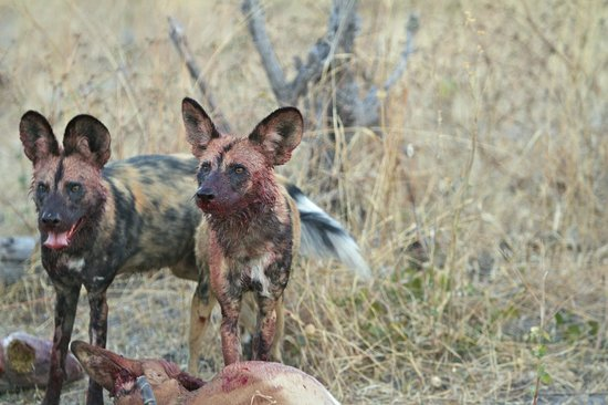 Wilderness Safaris Kings Pool Camp: Dogs took down the male impala