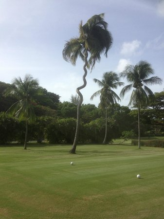 Mango Bay All Inclusive : A clever tree, avoiding the golfballs!