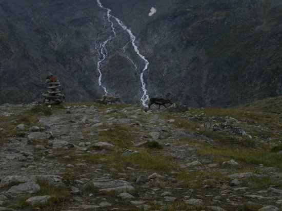 Jotunheimen National Park: Wild reindeer