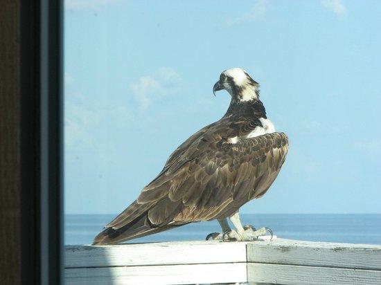 Cedar Cove Beach & Yacht Club: Osprey perching on our balcony - Do not disturb