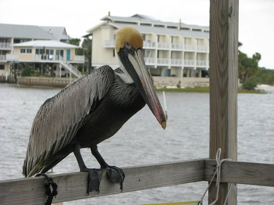 Cedar Cove Beach & Yacht Club: Brown pelican visiting the Cove's fish cleaning station