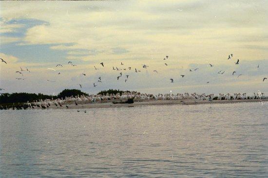 Cedar Cove Beach & Yacht Club: Tidewater Tours birding experience - White Pelicans