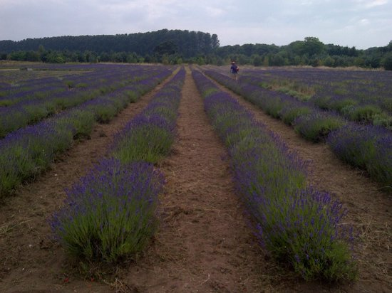 Wolds Way Lavender: 23/07/13 Field lavender nearly ready for distilation
