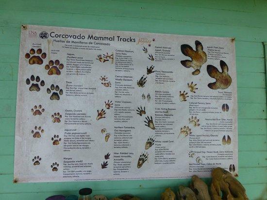 Corcovado National Park: Huellas animales del parque