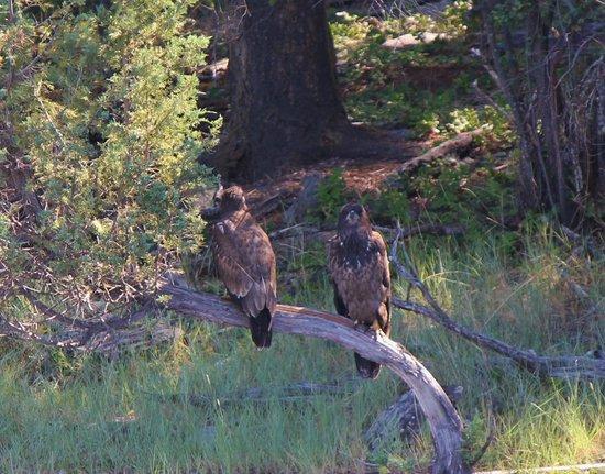 Wild Horse Island State Park : golden eagles