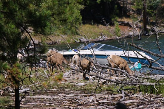 Wild Horse Island State Park : sheep back at the beach