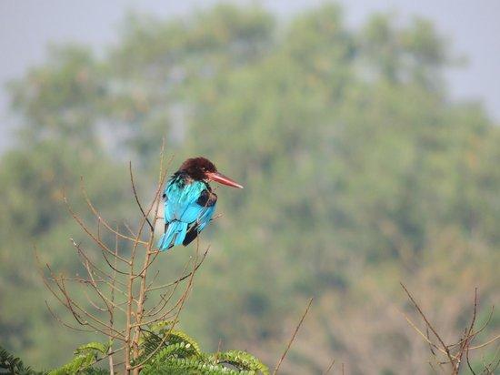 Talangama Wetland: Kingfisher