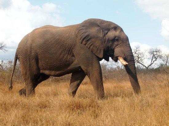 Olifants Rest Camp: OLD BULL ELEPHANT, NOTICE HIS BROKEN TUSKS