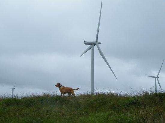 Whitelee Windfarm: bear having a rest....