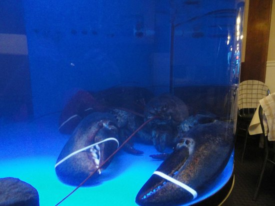 One Of The Pet Lobsters H U G E They Also Have A Blue Lobster Picture Of Fundy Restaurant Digby Tripadvisor