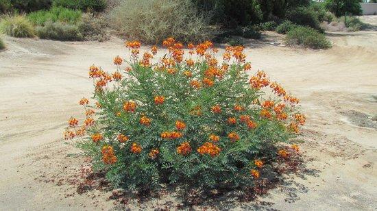 La Quinta-Norman Course : Desert flora