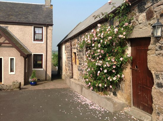 Craigie, UK: Graceful roses on wall when approaching house facing our corner room upstairs