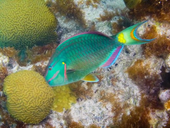 Приход Ворвик, Бермуды: stoplight parrotfish, terminal phase