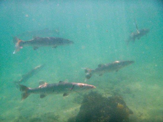 Spanish Point Park Beach: Group of young Barracudas