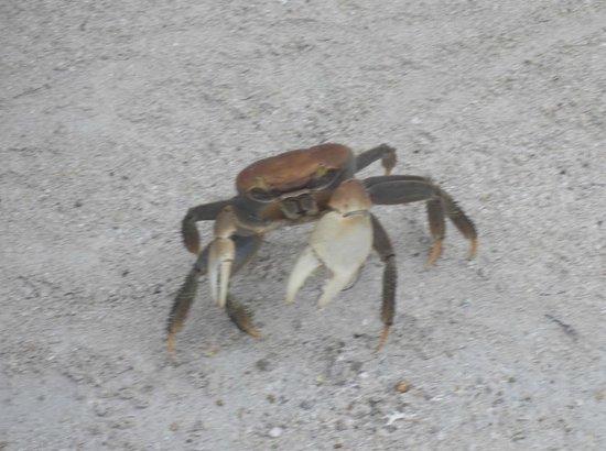 Tranquility Bay Resort: Fiddler crab