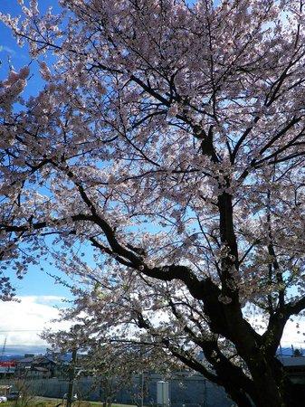Toyoko Inn Yonezawaekimae: 駐車場の桜