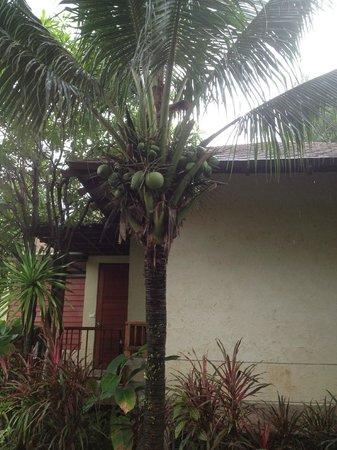 Centara Chaan Talay Resort & Villas Trat: fresh coconut