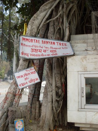 Kurukshetra, India: Ancient Banyan Tree