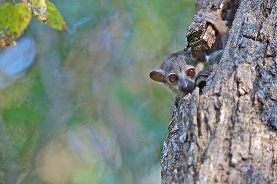Anjajavy L'Hotel: Sportive lemur (Copyright Antti Karpi 2012)