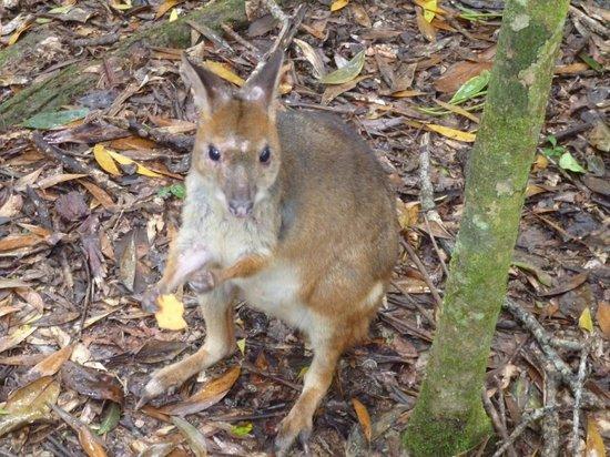 Australian Natural History Safari: Red legged pademelon