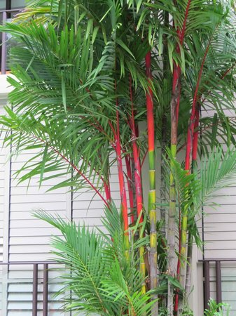 Pullman Palm Cove Sea Temple Resort & Spa: Lipstick palms