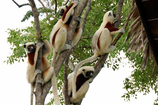 Anjajavy, Madagascar: Groupe de Sifaka (Copyright Blin 2010)