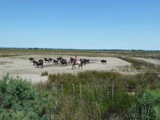 Les Peniches Isles de Stel : tri de taureau
