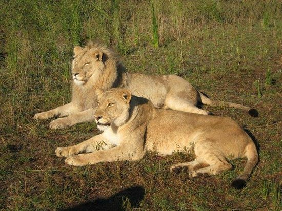 Botlierskop Private Game Reserve: lion walk