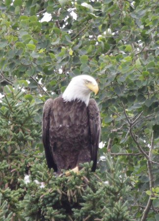 Sea of Whales Adventures: Bald Eagle