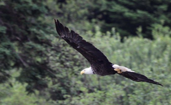 Sea of Whales Adventures: Bald Eagle in Flight