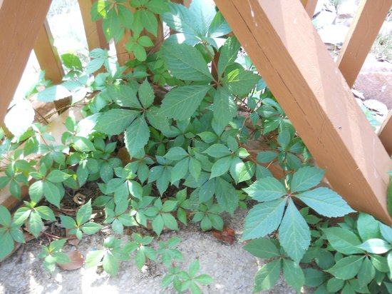 Econo Lodge Inn & Suites: Poison Ivy in pool area