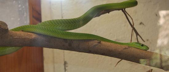 Meserani Snake Park : Green Snake