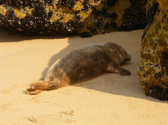 Porthminster Beach : The seal on the sand