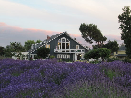 The Dungeness Barn House Bed and Breakfast: Lavender Time---- July, 2013