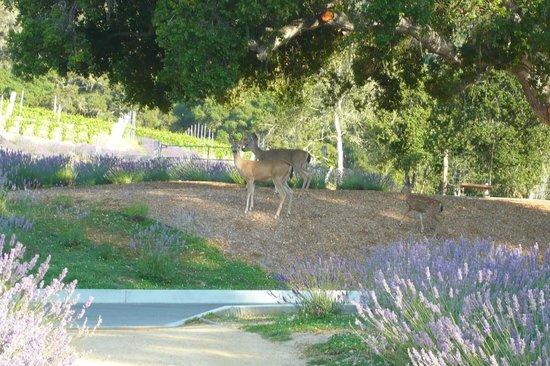 Carmel Valley Ranch: Deer among the Lavender