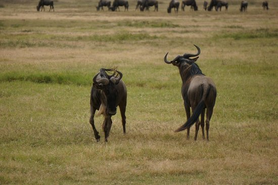 Ngorongoro Conservation Area, Tanzania: Wildebeest about to fight