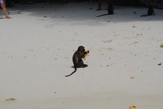 Phi Phi Islands: Monkey feeding