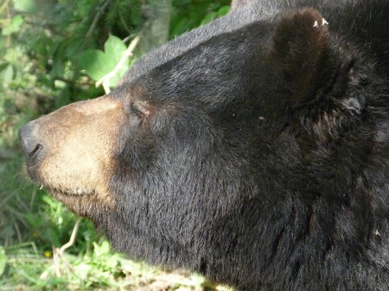 North American Bear Center: Ted