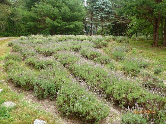 Cape Cod Lavender Farm: Lavender field