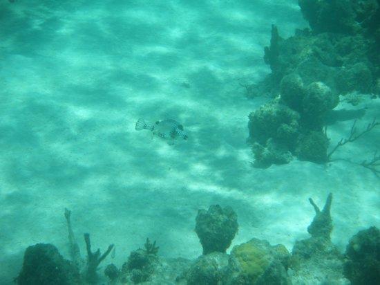 Anegada Island: trunkfish