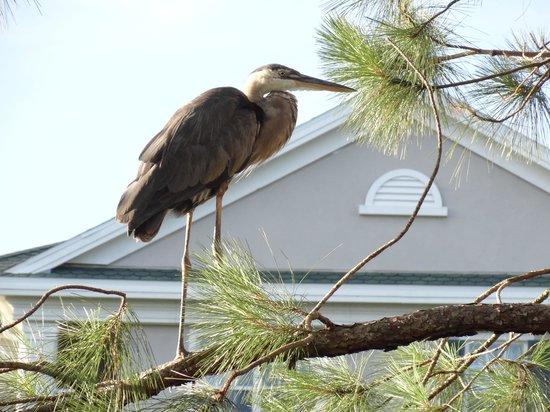 Grande Villas at World Golf Village: Beautiful Crane outside our condo