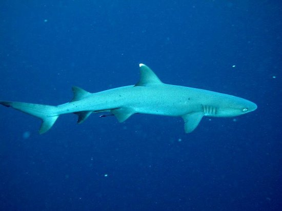 Sipadan Scuba: White tip reef shark- Sipadan Island