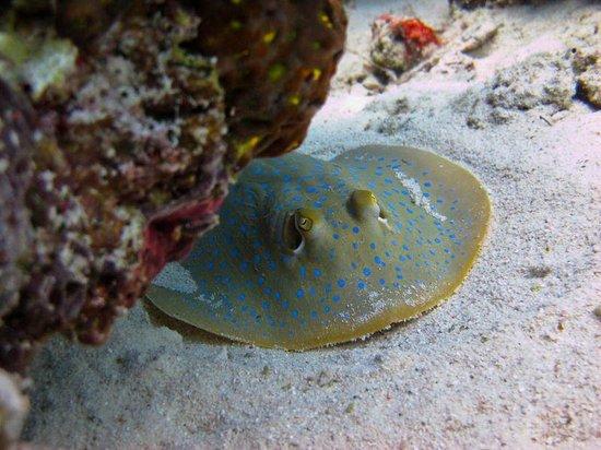 Sipadan Scuba: Blue spotted ribontail ray- Sibuan Island